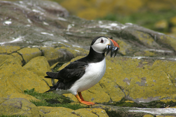 Puffin by Graham Uney