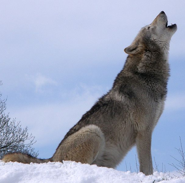 the-big-debate-should-we-reintroduce-wild-species