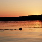 Sailing_Hebrides_Seal-at-sunset-on-Muck