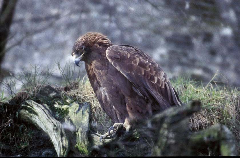 How to spot Golden Eagles in Scotland