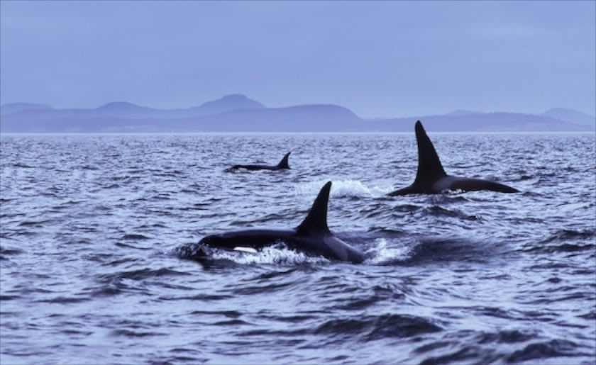 How to spot Killer Whales (Orcas) in Scotland