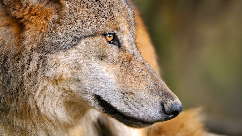 The Wolfpack and I: One Guide's insight into nature's role for the Wolf