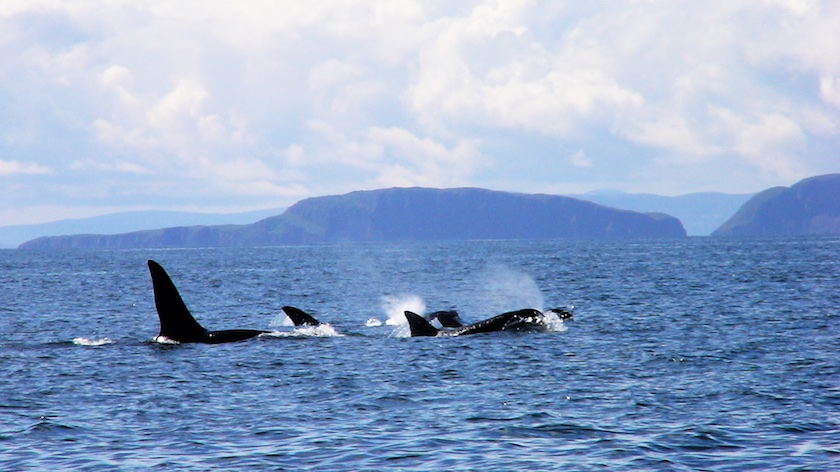 Hebridean Wildlife; sightings soar for harbour porpoises
