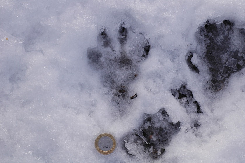 Winter Wildlife: How to recognise those tracks