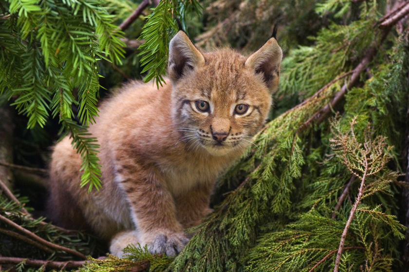 Eurasian Lynx Re-Introduction: Returning to the UK?