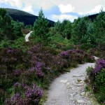 August on the West Highland Way with heather in full bloom