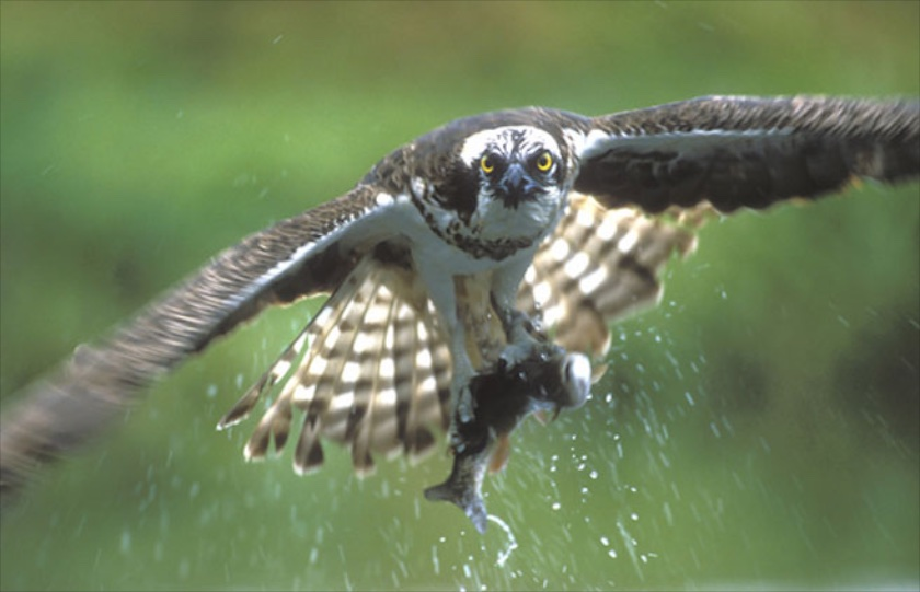 Scottish Wildlife - the mighty Osprey 2