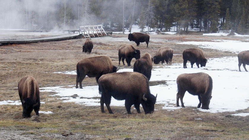 Comparing-National-Parks--Cairngorms-and-Yellowstone