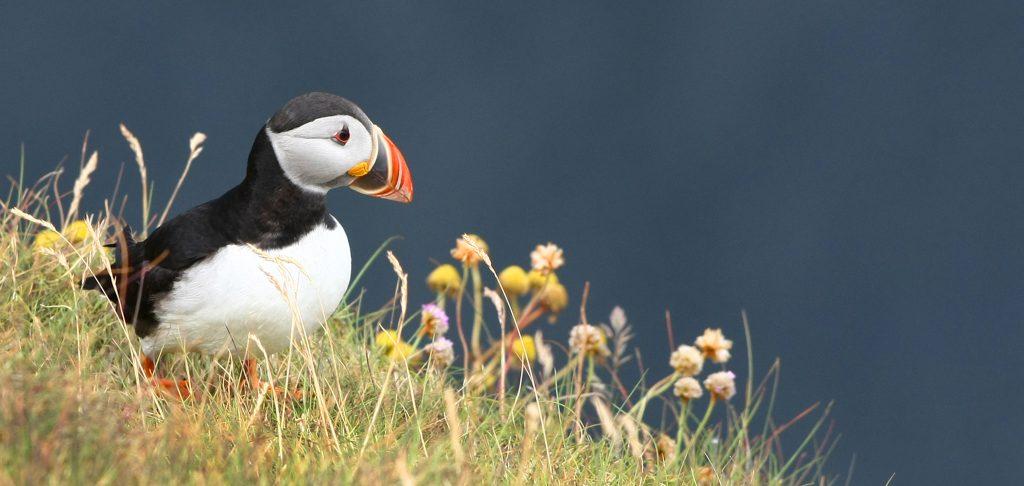 Orkney Top Ten Birdspotting Puffin