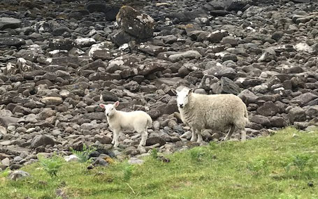 Gazing at the sheep in Scotland
