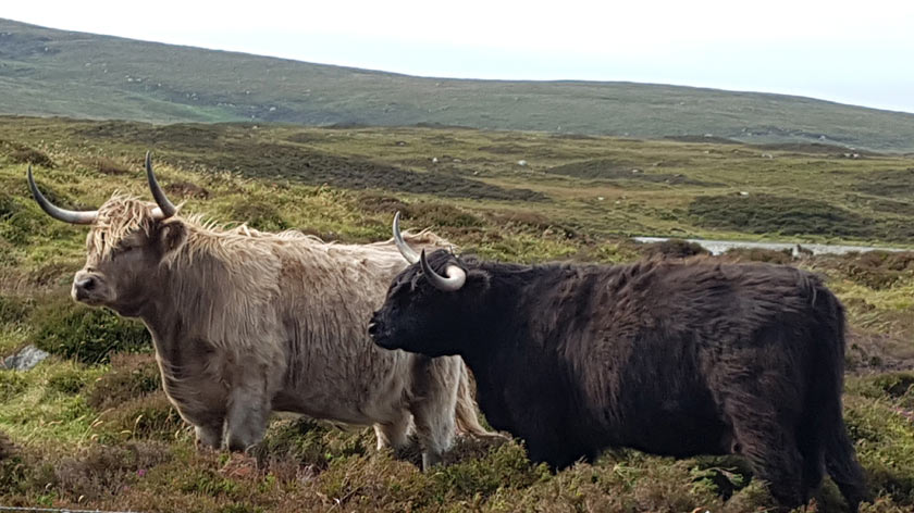 Highland Cows in the Isle of Harris, Scotland
