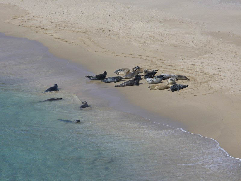 Common Seals on the beach in Scotland