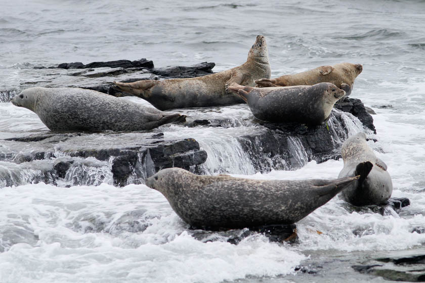 Grey seals anchoring in the water - Orkney Isles