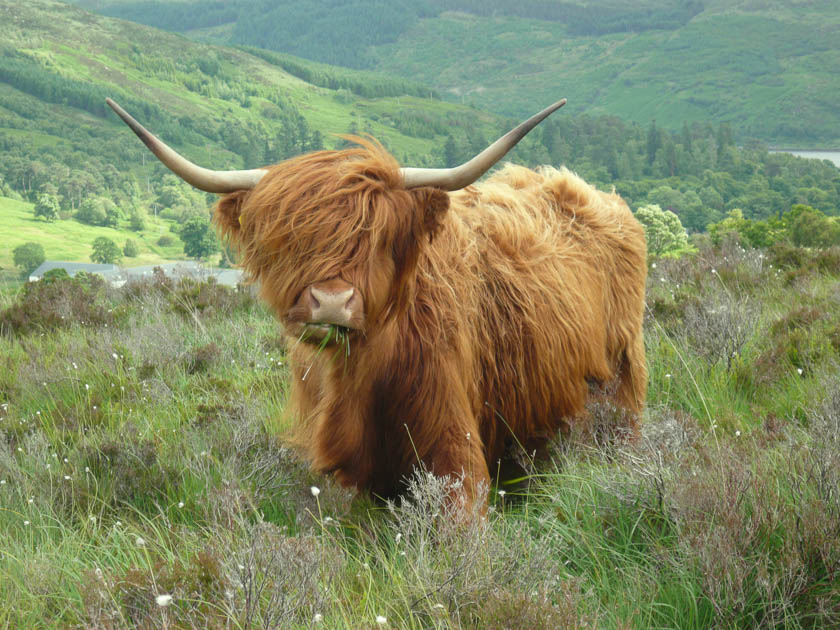 Highland Cow grazing in the green grass.