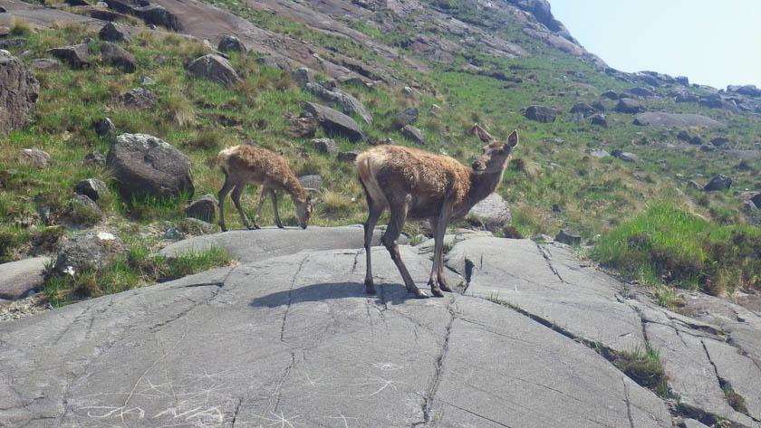 Red Deer on the Isle of Skye
