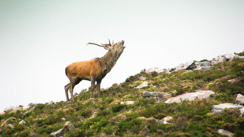 A Red Stag howling in Autumn on a mountain in the Highlands of Scotland