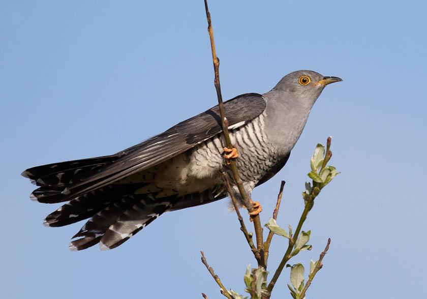 Cuckoo sitting on a tree branch