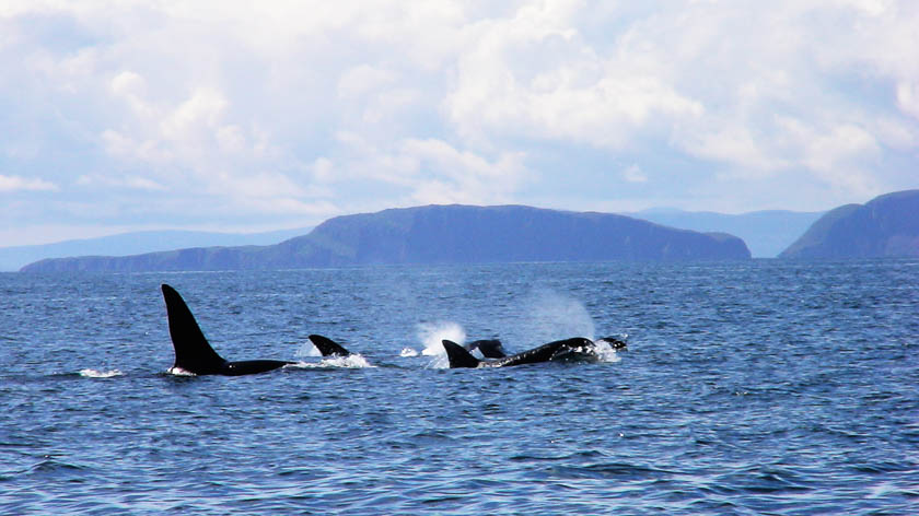 Killer Whales or Orcas swimming in the Scottish seas