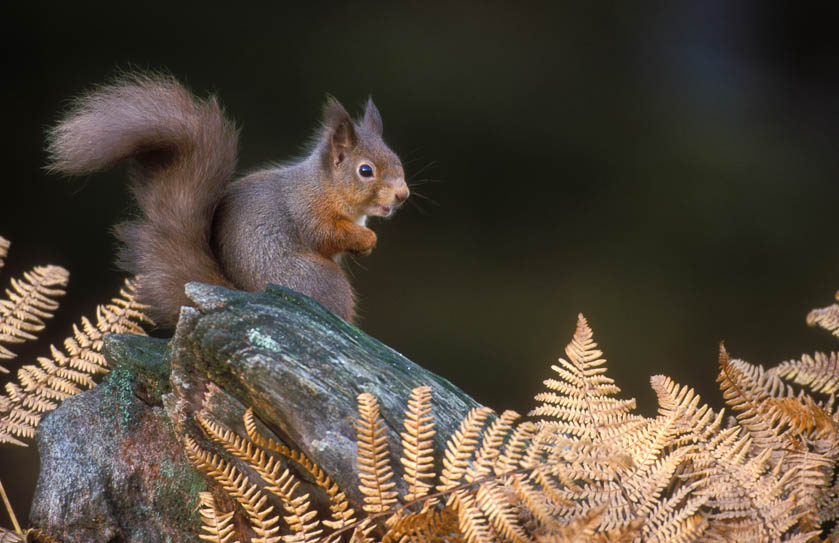 A red squirrel in the Cairngorms National Park