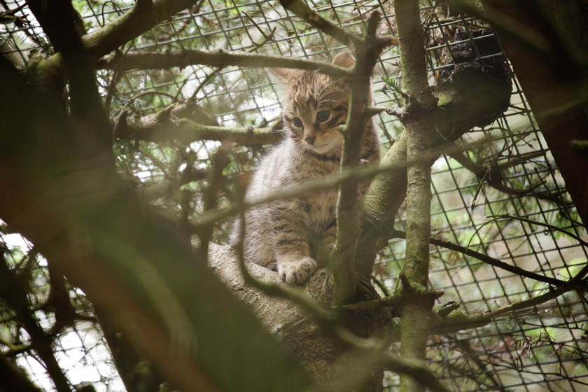 A young wildcat in the Highlands of Scotland