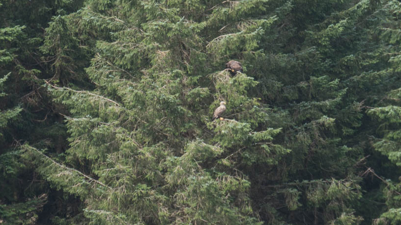 Top Tips For Spotting White Tailed Or Sea Eagles In Scotland Nest