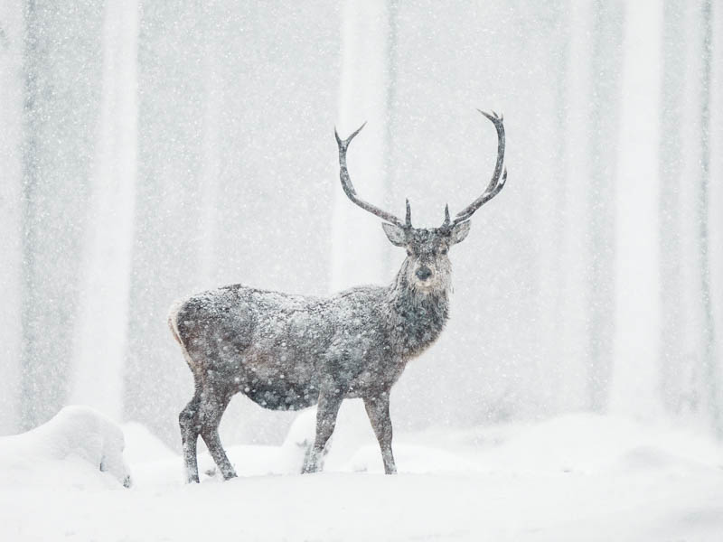 Winter Wildlife Deer